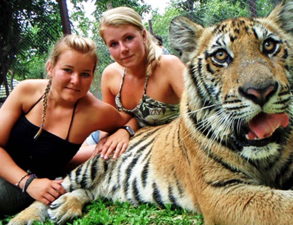 Tiger mys i Chiang Mai