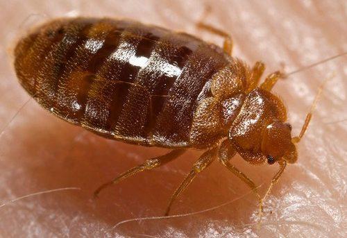 Bedbugs mysteriet