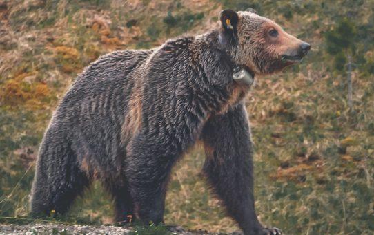 Vilda grizzlybjörnar på vägen till Lake Louise