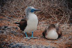 Budgetvarianten av Galapagos: Isla de la Plata