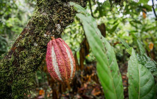 Äta choklad i regnskogen – Oreba Chocolate Tour