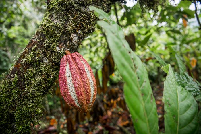 Äta choklad i regnskogen - Oreba Chocolate Tour